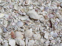 Shells on the beach at lands end St.Pete Beach
